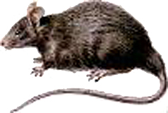 Rébus pokémon - Page 2 Rat